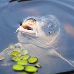 3 tips bij het karpervissen met boilies