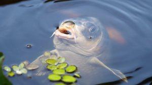 Lees meer over het artikel 3 tips bij het karpervissen met boilies